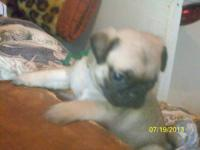 For sale 1 male 1 female akc fawn pugs. first shots
