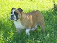 AKC female English Bulldog is looking for a loving