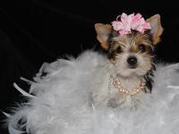 Lovable little AKC Parti Female want to join you in