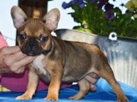 AKC French bulldog lady.12 weeks old Sable carriers the