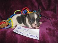 AKC FRENCH BULLDOG BLUE PIED GIRL COACH. BORN JAN