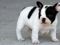 AKC French bulldog puppies are ready to go to lovely
