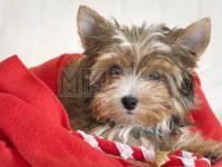 HE IS 13 WEEKS OLD AND HE IS A FULL BREED YORKIE