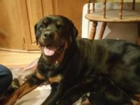 4 boys 2 girls AKC German Rottweiler puppies have tails