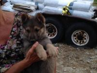 8 week old Male German Shepherd Puppy with AKC papers.