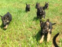 Akc registered German Shepherd puppies. 2 females and 3