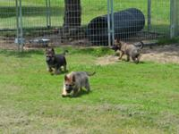 I have 7 fantastic German Shepherd puppies prepared for