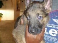 German shepherd puppies german shepherd dog Puppies If