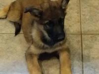 AKC German Shepherd puppies with excellent pedigree.