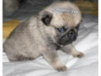 We have one Excellent Champion Line Pug Puppy