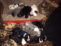 Harlequins Mantles Merles Ready for homes Jan. 5th Mom
