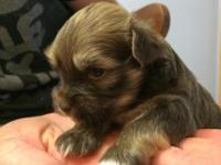 I have 3 male chocolate puppies born on 6/3. They have
