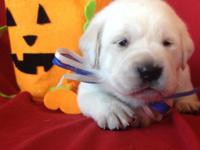 AKC CREM to WHITE LABRADOR PUPPIES CHAMPIONS