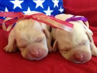 AKC CREAM WHITE LABRADOR PUPPIES CHAMPIONS