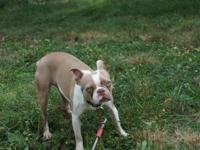 AKC Lilac Female Boston Terrier DOB: 4/10/12 We have