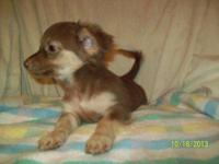 Quality AKC longcoat chihuahua puppies for sale. RARE