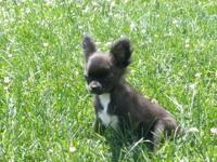 Adorable, AKC longcoat Chihuahua pups, 1 females, 1