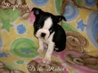 I have one AKC Male boston terrier available. He is to