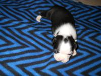 AKC Boston Terrier Male We have 3 males corlor black/