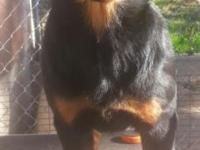 2 beautiful AKC rottweiler puppies Both parents have