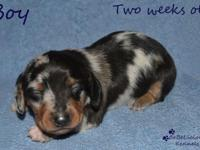 """Sven"" is a male Black/Tan/Silver Mini Dachshund. 3rd"