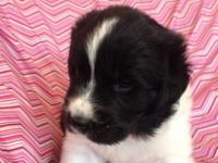 Newfoundland puppies are ready to go home now. 1