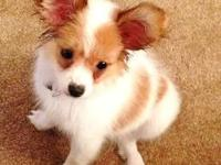 6 month old female AKC Papillion puppy, approximately