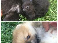 2 Stunning Male Pomeranians (champion lines) for Sale.