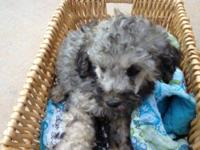 Beautiful top quality Standard Poodle pups in a variety