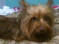 AKC RARE Chocolate YORKIE, male. He is 15 months old.