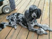 ******* - DNA TESTED 100% POODLE - ! ***** AKC
