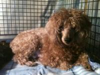 Hi there I'm Dolly, a THIRTEEN pound red poodle. I'm
