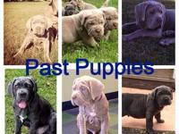 Akc English Mastiff puppies for sale! They were born on