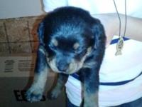 For sale 3 female AKC REG german rottweiler puppies no