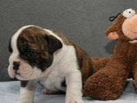 I have adorable English Bulldog available for