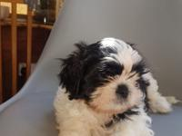 AKC registered  Shih Tzu puppies available, they are