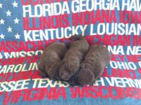 We have a new litter of akc registered lab puppies who
