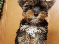 Male yorkie for sale. He carries many colors.. He