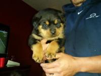 Akc Rottweiler young puppies will certainly be