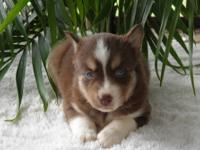 Siberian Husky puppies, AKC registered. Six now