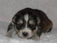 Siberian Husky puppies, AKC registered. Eight beautiful