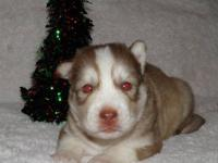 Siberian Husky puppies, AKC registered. Four gorgeous