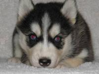 Siberian Husky puppies, AKC registered. Six beautiful