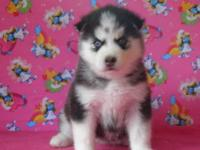 Siberian Husky puppies, AKC registered. Seven beautiful