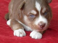 Siberian Husky puppies, AKC registered. Ten gorgeous