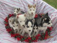 Christmas Puppies !!! AKC Siberian Husky Puppies !!
