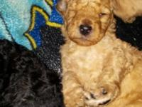 AKC Standard Poodle young puppies. Born 1-10-15 and