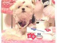 Gorgeous babydoll face, Purebred tcup Maltese young
