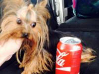 AKC TEACUP Yorkie, 6 months old weighs under 3 pounds,
