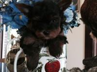 AKC teacup Yorkshire terrier male. He is black and